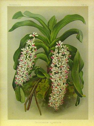 Plate 022: Saccolabium giganteum