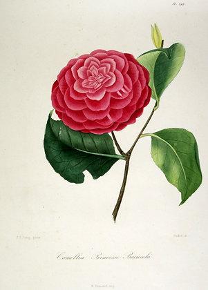 Camellia Princesse Baciocchi