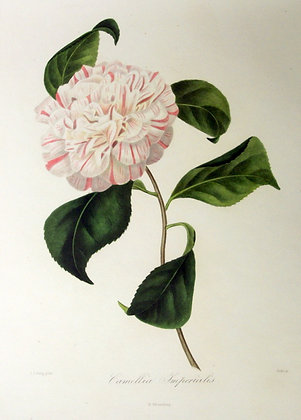 Camellia Imperialis