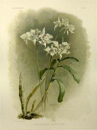Plate 161: Dendrobium Johnsonia