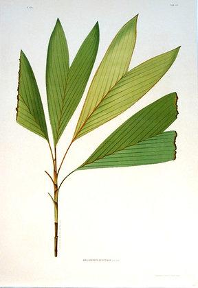 Plate 242: Amylocarpus Ericetinus