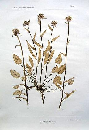 Plate 283: Phyteuma orbiculare Linn