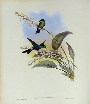 Plate 108: Thalurania Eryphile
