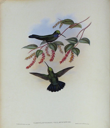 Plate 047: Campylopterus Villavicencio