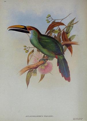 Plate 048: Aulacoramphus Walgeri