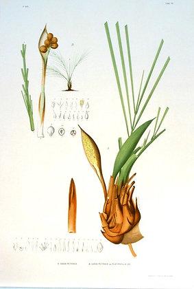Plate 170: A. Cocos Petraea