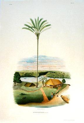Plate 272: Astrocaryum Princeps
