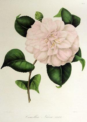 Camellia Nivea Vera