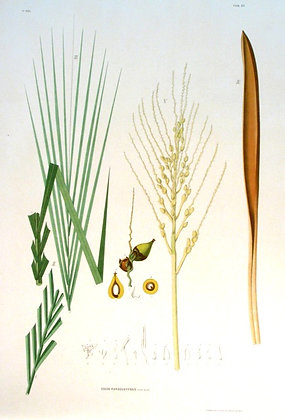 Plate 182: Cocos Paraguayensis