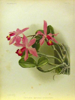 Plate 032: Cattleya superba splendens