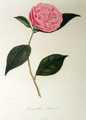 Camellia Revisa