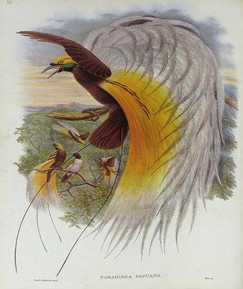 Plate 128: Paradisea Papuana