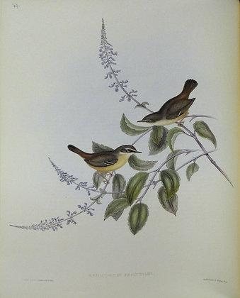 Plate 349: Sericornis Frontalis