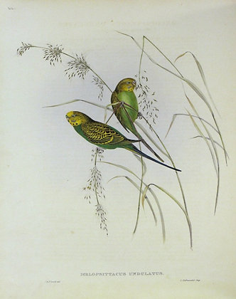 Plate 544: Melopsittacus Undulatus