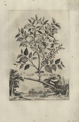 Plate 054: Chamae mespilus Alpina