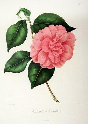 Camellia Scintillans