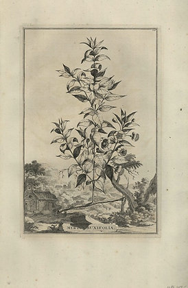 Plate 028: Myrtus buxifolia
