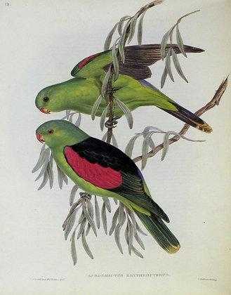 Plate 518: Aprosmictus Erythropterus