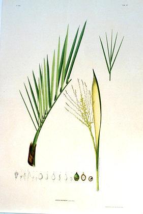 Plate 167: Cocos Barbosii