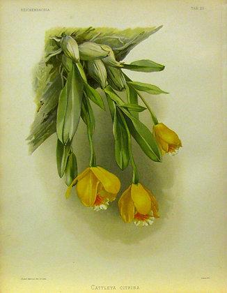 Plate 020: Cattleya citrina