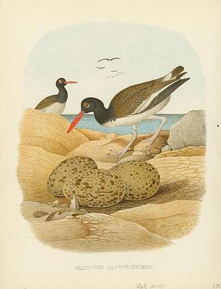 Plate 47: American Oystercatcher