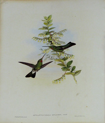Plate 055: Aphantochroa Gularis