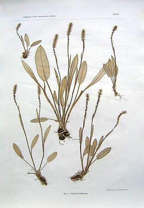 Plate 216: Polygonum viviparum Linn.