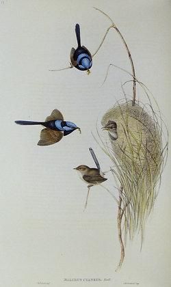 Plate 318: Malurus Cyaneus