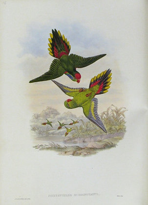 Plate 516: Psitteuteles Rubronotatus