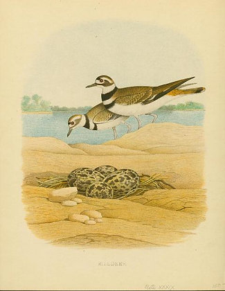 Plate 39: Killdeer
