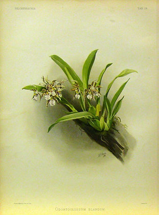 Plate 024: Odontoglossum blandum,