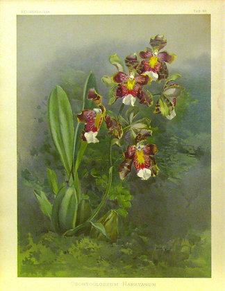 Plate 049: Odontoglossum harryanum