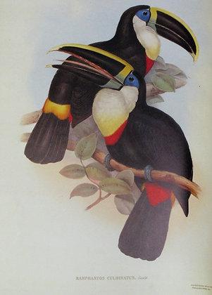 Plate 011: Ramphastos Culminatus