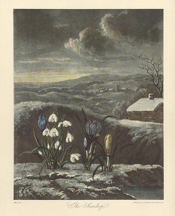 Plate 16: The Snowdrop