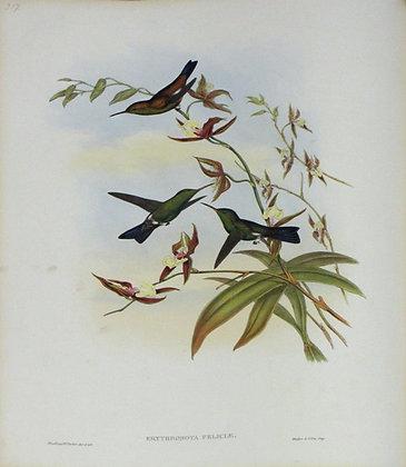 Plate 317: Erythronota Feliciae