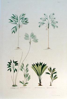 Plate 110: E. Bactris Ericeina
