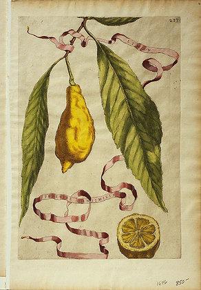 Plate 237: Limon Perett? Consimilis