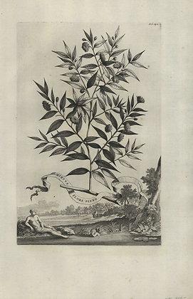 Plate 027: Myrtus flore pleno
