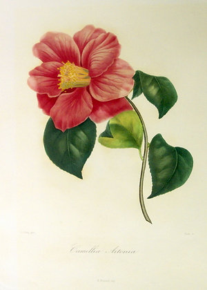 Camellia Aitonia