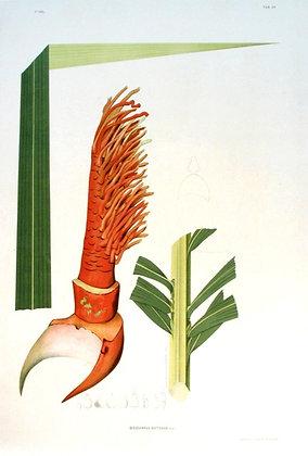 Plate 139: A'nocarpus Distichus