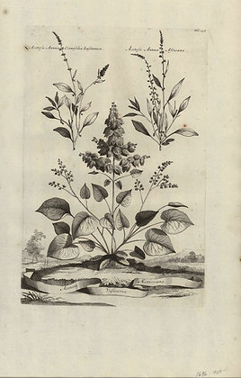 Plate 078: Acetosa vesicaria Mexiocana