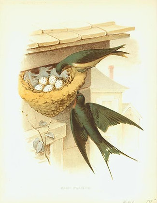 Plate 14: Barn Swallow
