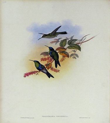 Plate 106: Thalurania Colombica