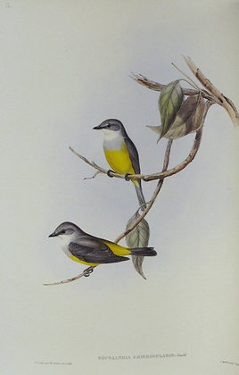 Plate 312: Eopsaltria Griseogularis