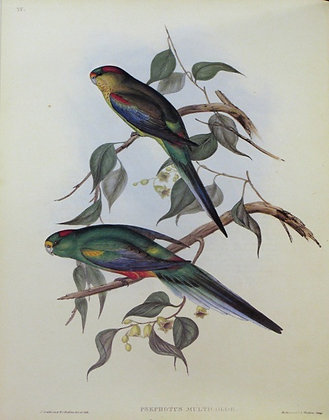 Plate 535: Psephotus Multicolor