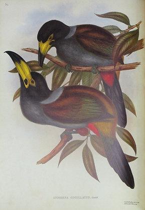 Plate 039: Andigena Cucullatus