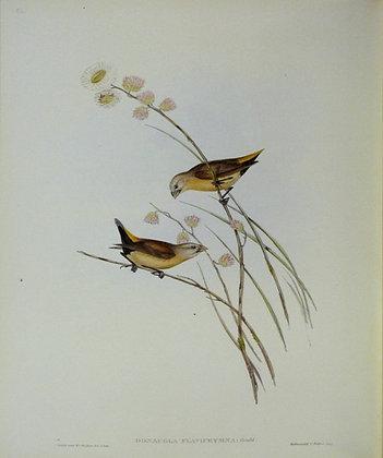 Plate 396: Donacola Flaviprymna
