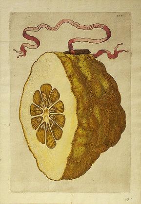 Plate 303: Limon Sponginus Liguri? Verrucosus