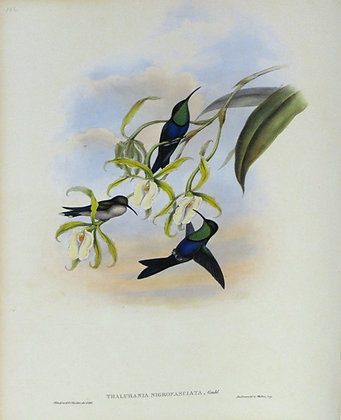 Plate 104: Thalurania Nigrofasciata
