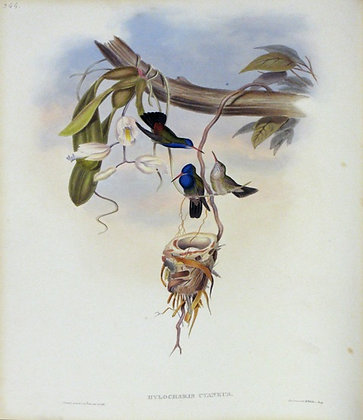 Plate 344: Hylocharis Cyanea